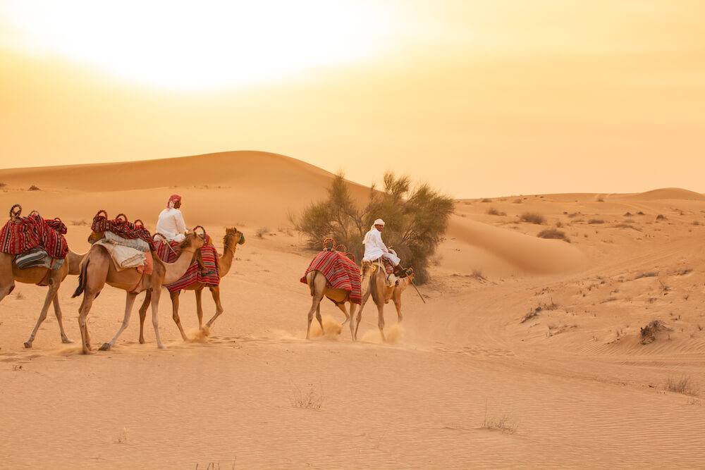 Treatment of Camels on Dubai Desert Safaris