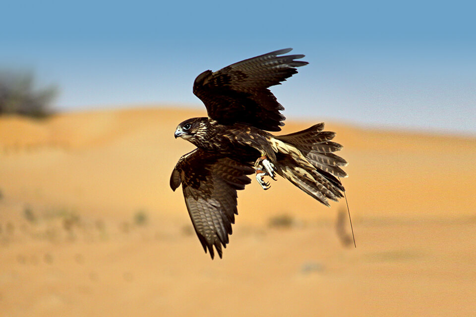Private Falconry Tour in Dubai - Falconry Desert Safari