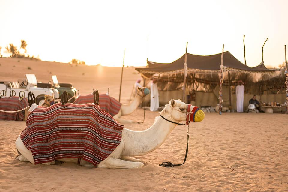 Dubai Desert Heritage Bedouin Life Camp Camels