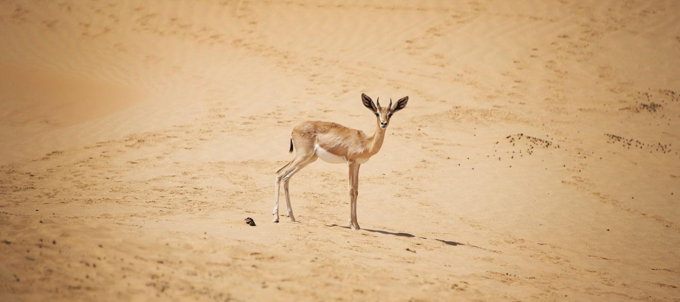 Arabian Gazelle Dubai