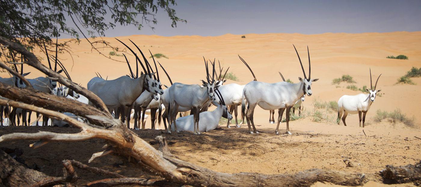 Arabian Oryx Dubai