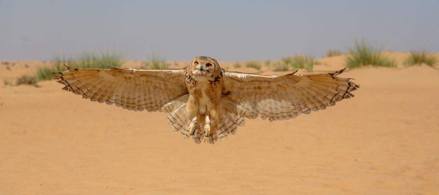 Desert Eagle Owl Dubai