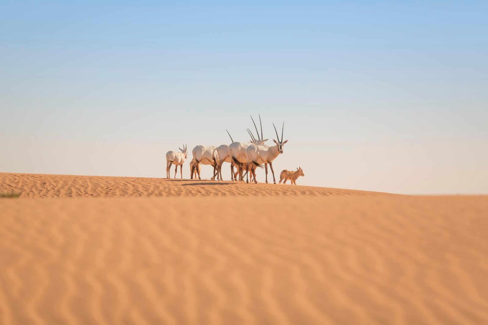 Platinum Wildlife Drive - Arabian Oryx