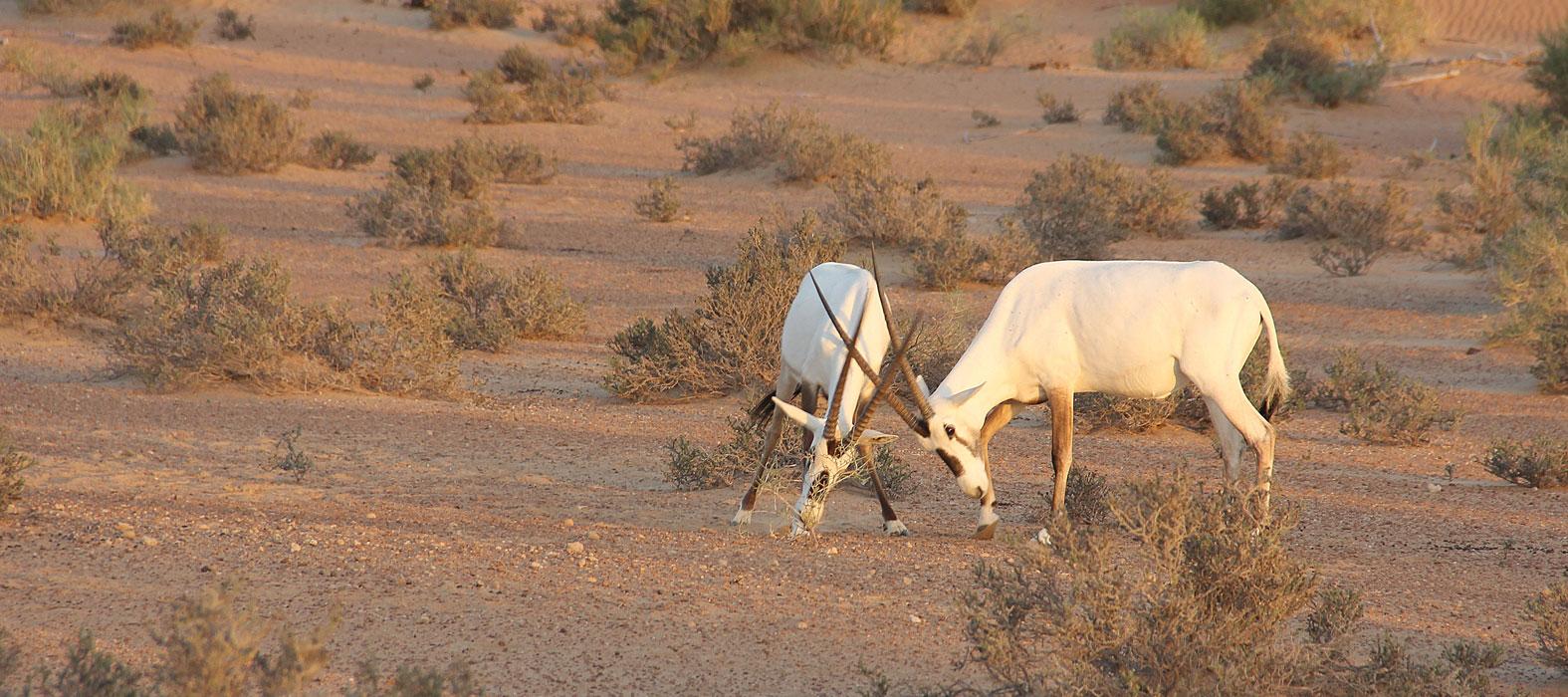 Arabian Oryx Wild Life Dubai